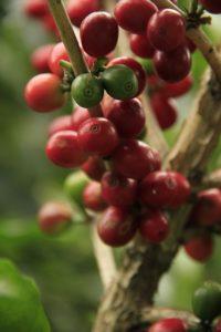 kawa odchudza kawa bez kofeiny