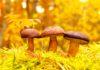 Właściwości odchudzające grzybów